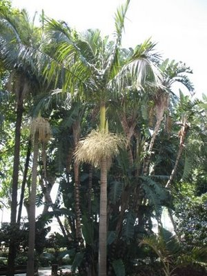 Alexander Palm, King Palm