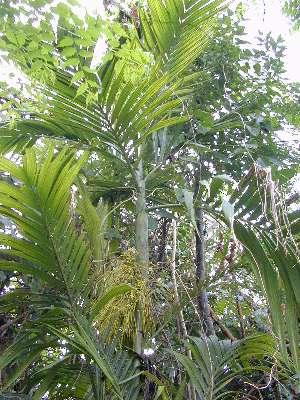 Areca Triandra, Triandra Palm
