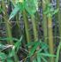 Bambusa malingensis,  (Seabreeze Bamboo, Maling Bamboo)