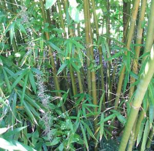 Bambusa malingensis (Seabreeze Bamboo)
