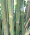Bambusa textilis 'Mutabilis' (Emerald Bamboo)