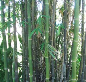 Bambusa oldhamii (Oldham's Bamboo)