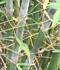 Bambusa textilis 'Kanapaha' (Wong Chuk Bamboo, Royal Bamboo)