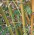 Bambusa ventricosa 'Kimmei' (Kimmei Bamboo)