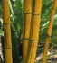 Bambusa vulgaris Vittata  (Hawaiian Stripe Bamboo, Painted Bamboo, Hawaiian Golden Bamboo)