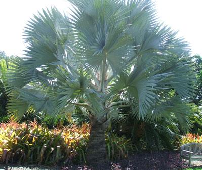 Bismark Palm, Bismarck Palm, Bismarkia nobillis