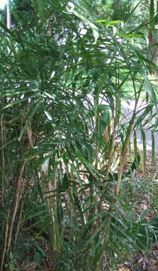 Chamaedorea seifrizii,  Bamboo Palm, Reed Palm