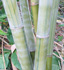 Dendrocalamus minor 'Amoenus' (Ghost Bamboo, Angel Mist Bamboo)