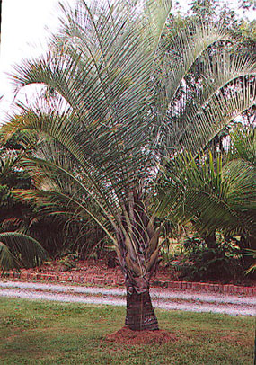 dypsis-decaryi , Triangle Palm, neodypsis decaryi