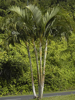 Dypsis lutescens, Butterfly Palm, Chrysalidocarpus lutescens, Areca Palm