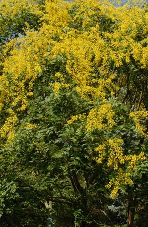 Golden Rain Tree, Koelreuteria paniculata,