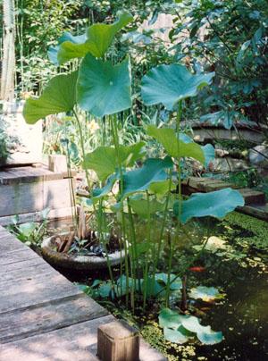 Nelumbo nucifera, Sacred Lotus, Egyptian Lotus