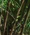 Otatea acuminata ssp. aztecorum (Mexican Weeping Bamboo)