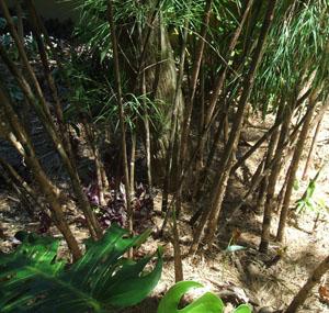 Otatea acuminata aztecorum  (Mexican Weeping Bamboo)
