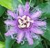 Passiflora, Passion Vine
