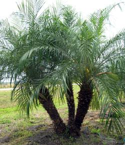 Phoenix-roebelenii, Pygmy Date Palm
