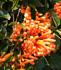 Pyrostegia venusta, Orange Trumpet Vine