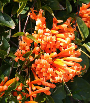 Orange Trumpet Vine, Pyrostegia venusta