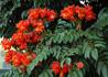 Spathodea campanulata, African Tulip Tree
