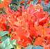 Tecomaria capensis, Cape Honeysuckle, Tecoma capensis