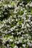 Trachelospermum jasminoides, Confederate Jasmine