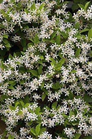 Confederate Jasmine, Trachelospermum jasminoides, star jasmine