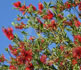 callistemon, bottle brush tree