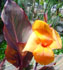 canna, canna lily