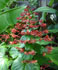 clerodendrum, pagoda plant, pagoda flower