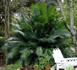 cycas circinalis,Queen Sago