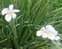 dietes vegeta, african iris