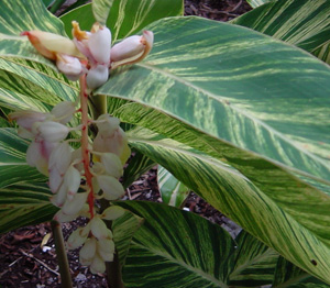 Variegated shell ginger