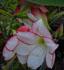 hippeastrum, amaryllis