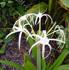 hymenocallis, spider lily