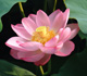 Nelumbo nucifera, Sacred Lotus, Egyptian Lotus
