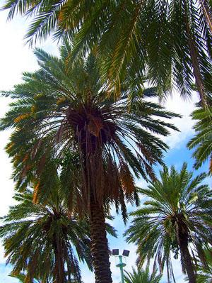 Phoenix-canariensis, Canary Island Date Palm