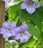 Thunbergia grandiflora, Blue Sky Vine, Bengal Clock Vine