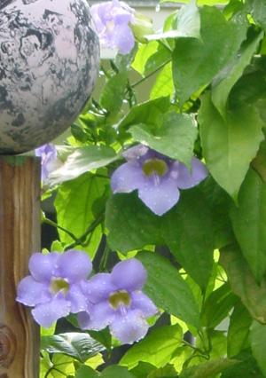 Thunbergia, Thunbergia grandiflora, Blue Sky Vine, Bengal Clock Vine, Sky Vine