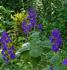 tibouchina, glower bush