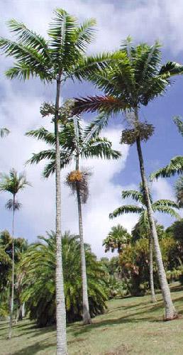 Veitchia montgomeryana,     Montgomery Palm