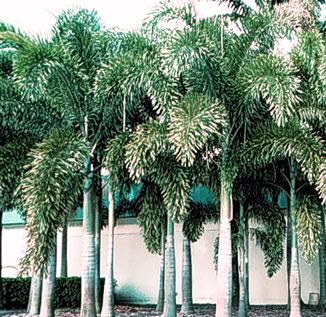 wodyetia-bifurcata, Foxtail Palm