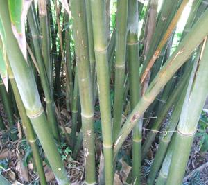 Bambusa textilis Mutabilis,  Emerald Bamboo