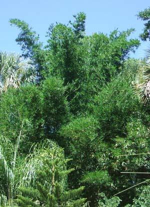 Bambusa textilis 'Kanapaha, Wong Chuk Bamboo,  Royal Bamboo