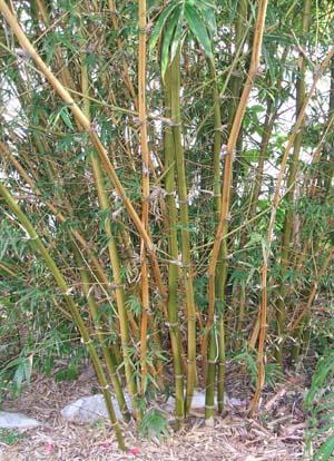 Bambusa ventricosa Kimmei