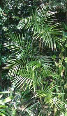 Chamaedorea costaricana Costa Rica Palm, Bamboo Palm, Dwarf Palm