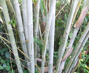 Dendrocalamus minor Amoenus  (Ghost Bamboo,  Angel Mist Bamboo)