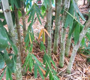 Dendrocalamus asper (Asper Bamboo)