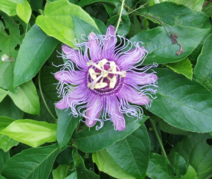 Passion Vine, Passiflora, passion flower