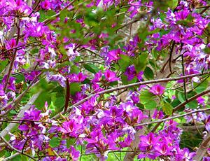 bauhinia, orchid tree