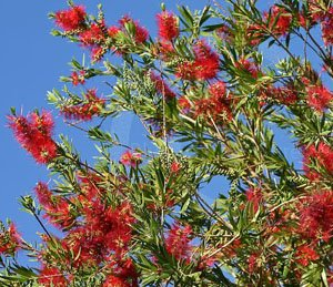 callistemon viminalis, bottle brush tree